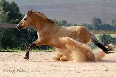Fjord stallion #horses