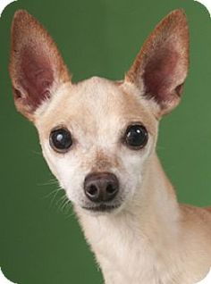 Chicago, IL - Chihuahua Mix. Meet Peppy, a dog for adoption. http://www.adoptapet.com/pet/14940073-chicago-illinois-chihuahua-mix