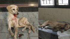 View the latest petition signatures for Stray dogs pounded repeatedly, left to DIE by officials at Indian University! Dog Abuse, Dog Pounds, Evil People, Stop Animal Cruelty, Dog Fighting, Animal Welfare, Bullies, Animal Rights, Stray Dog