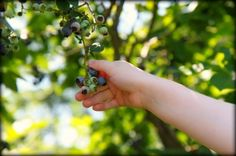 Go Blueberry Picking & Create Something Fun In the Kitchen.