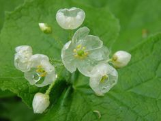 """""""Skeleton flower"""" - The Diphylleia grayi is an extraordinary flower, that turn beautifully transparent upon contact with water."""