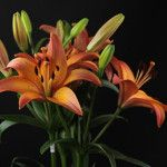 Royal Sunset Asian Lilies, Lily, Sunset, Plants, Sunsets, Orchids, Flora, Plant, Lilies