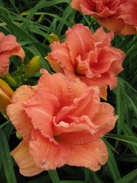 We are America's largest grower and online retailer of high quality daylilies, iris, peonies and other premium perennials. Types Of Lilies, Day Lilies, Perennials, Peonies, Iris, Home And Garden, Lily, Flowers, Plants