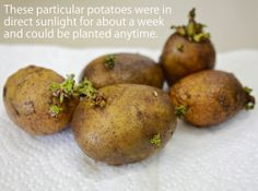 Do you chit your potatoes? While you can plant your potatoes directly in the ground after taking them out of storage, another technique is to place them in direct sunlight for a few days before planting. This will cause the potato to quickly break dormancy and immediately begin producing dark green spouts and leaves. This process is called chitting. In short season areas this is a great way to jump-start the growth of your potatoes.