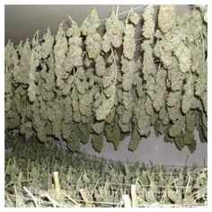 Curing Your Cannabis Crop