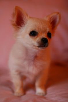Cute puppies photos: Cute Chihuahua Puppies Pictures
