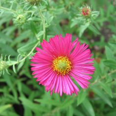 Top 15 Most Beautiful Aster Flowers