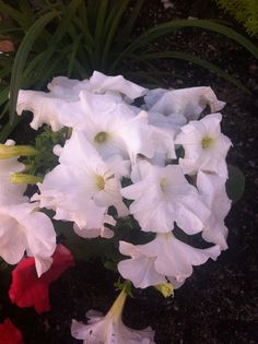 My white petunia she's gorgeous