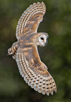 beautiful-wildlife:  Barn OwlbyWayne Davies
