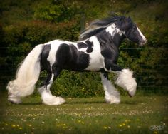 The Judge, handsome Gypsy Horse Stallion at West Hill Ranches in upstate NY.