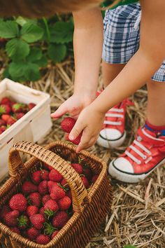 Stock photo of toddler putting strawberries in a basket on a strawberry field by Nox Strawberry Picking, Strawberry Garden, Strawberry Patch, Strawberry Fields, Farm Photography, Photography Projects, Children Photography, Fruit Picking, Cute Themes