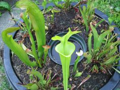 Grow Carnivorous Plants in a DIY Mini-Bog - Brooklyn Botanic Garden