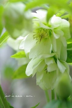 Christmas Rose image: