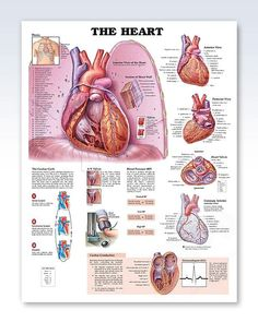 This 20x26 inch human anatomy poster features cutaways of interior structures of the anterior view of heart sitting on diaphragm.
