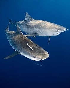 "The tiger shark's reputation as an indiscriminate eater that will swallow anything it finds, including garbage, has earned it the nickname ""wastebasket of the sea."""