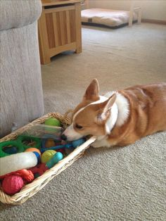 Hmmmmm what should Milo play with!!!!