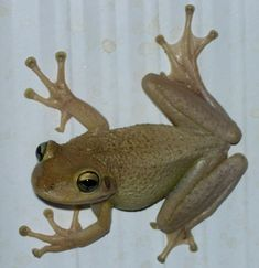 Invasive Cuban Treefrog, apparently changes colors and patterns!