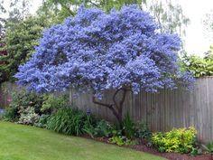 Ceanothus - spring flowering evergreen, grown as a tree - Gardening Life