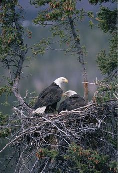 Types of Eagles - American Bald Eagle art portraits, photographs, information and just plain fun The Eagles, Bald Eagles, All Birds, Birds Of Prey, Wild Life, Beautiful Birds, Animals Beautiful, Aigle Animal, Eagle Pictures