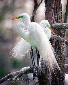 Egrets in bleeding plumage
