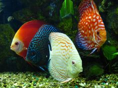 Discus Fishes