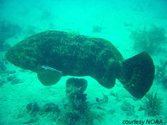 Goliath Grouper | Florida Museum of Natural History