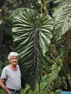 Weird Plants, Unusual Plants, Rare Plants, Exotic Plants, Cool Plants, Green Plants, Planta Alocasia, Alocasia Plant, Tropical Garden