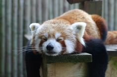 These adorable red pandas are commonly found in Asian continent, mostly in Nepal and China. Although named as red panda, they are considerably smaller than the Types Of Pandas, Animal Pictures, Cute Pictures, Cutest Picture Ever, Baby Animals, Cute Animals, Panda Love, Panda Panda, Panda Bears