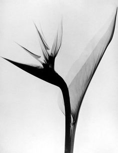 While looking thru some old files today, came across these remnants from my decade working at the Smithsonian Institution at Washington, DC.  These were some wonderful x-rays of flowers by Dain Tasker, a pioneer in x-ray arts. I had the chance to catalog this fascinating collection at Smithsonian. Enjoy.