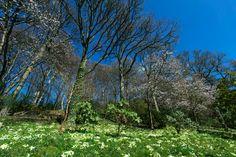 RHS Garden Rosemoor - The Woodland Banks in spring