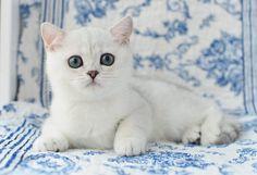 Британская шиншилла. Кошки британские шиншиллы. Котята шиншиллы.