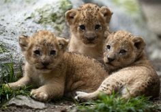 Baby lions.