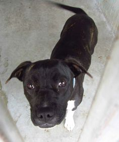 SUPER URGENT - A4672699  I am a sweet young female br brindle/white pit bull/boxer mix. I came to the shelter as a stray on January 30. available 2/3/14  Baldwin Park shelter Open for Adoptions 7 days a Week 4275 Elton Street, Baldwin Park, California 91706 Phone 626 430 2378  https://www.facebook.com/photo.php?fbid=728259307185909&set=a.705235432821630&type=3&theater