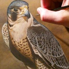 Peregrine Falcon watercolor on board Rebecca Latham finishing up for an upcoming exhibition at Seaside Art Gallery in #NC #obx #wildlife #watercolor #art #animal #painting #miniature #artist #miniatureart #realism #animallovers #falconry #falcon #falcons #peregrine #birdsofprey #raptor #birds #birdlovers #workinprogress #naturalism
