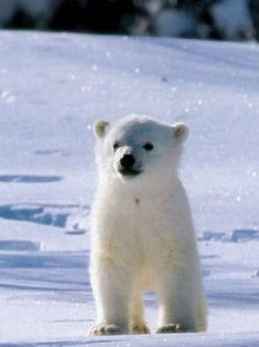 Small, cute polar bear in the glittering snow!