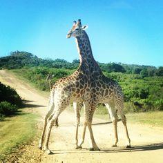 Giraffe Giraffes, South Africa, Animals, Animales, Animaux, Animal, Animais, Giraffe