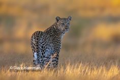 Leopard out hunting at sunrise in the Okavango Delta, Botswana at Chitabe camp Okavango Delta, Camps, One Light, Wildlife Photography, Lodges, Fine Art Paper, Safari, Fine Art Prints, Sunrise