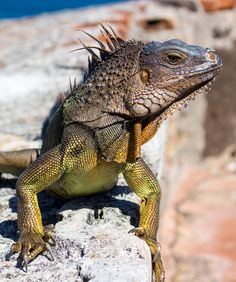 Puerto Rican iguana. These dudes were everywhere, and they were certainly not small!
