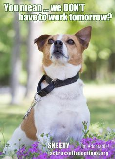 Skeety might be confused about our holidays, but he's certainly not when it comes to keeping an eye on those ornery squirrels. If you want someone to hang out and watch the trees, he's the bee's knees. (Yeah, we went there. It rhymed.) #JackRussell #MemorialDayWeekend