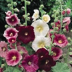 Have loved hollyhocks since seeing them in my childhood yard! http://media-cache8.pinterest.com/upload/94364554662323681_S6aVdbln_f.jpg dks52 some of my favorite flowers