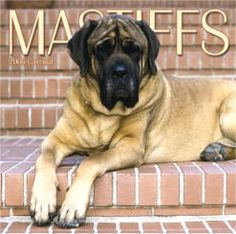 english mastiff..i have to have one of these big babies