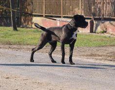 Eladó cane corso kölykök; For sale; zu Verkaufen