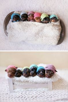The cutest newborn photoshoot ever for a proud sausage dog mother and her six teeny tiny newborn pups. Just look at their hats.