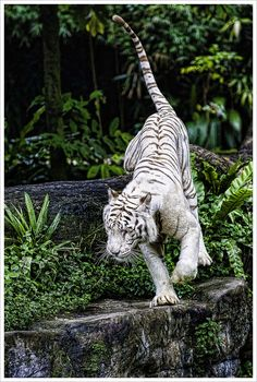 White Bengal Tiger- what beauty............                                                                                                                                                                                 More
