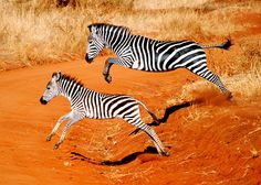 Taken with a Nikon Snapped during my honeymoon in Tanzania. This was in the Tarangire National Park. The setting sun helped light up the orange in the soil which contrasts nicely with the black and white of the zebra. Zebra Pictures, Zebra Crossing, Photography Competitions, Photo Competition, African Safari, Wild Horses, Animal Photography, Pet Birds, Cool Photos
