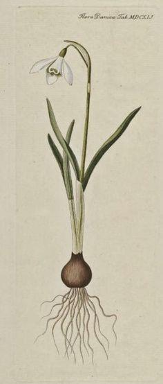 flora danica - Google Search Antique Illustration, Plant Illustration, Botanical Tattoo, Botanical Prints, Flora Danica, French Art, Vintage Flowers, Natural History, Royal Copenhagen