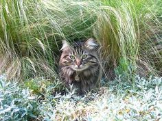 Cute cat pics of cats enjoying gardens. Norway Forest, Norway Nature, Cat Garden, Summer Solstice, Pretty Cats, Great Pictures, Kitty, Animals, Image