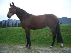 Handsome Bay Gelding Prospect « The Warmblood Horse