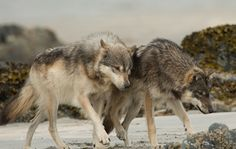 STOP KILLING WOLVES ! All About Wolves, Names Of Artists, Luna Star, Wolf Photos, Power Animal, Call Of The Wild, Native Indian, Werewolf, Spirit Animal