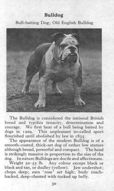 -Bulldog 1970 Vintage Dog Print Matted  